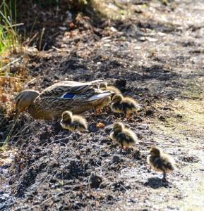 Moedereend met kuikens (2)